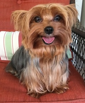 AKC Traditional Female Yorkie
